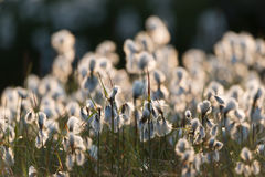 Cottongrass Fotografie Stock