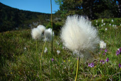 Cottongrass Obrazy Royalty Free