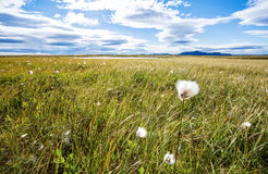 Cottongrass Obraz Royalty Free