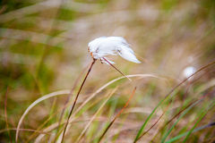 Cottongrass Fotografía de archivo libre de regalías