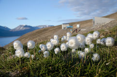 Cottongrass blancs du Svalbard images libres de droits