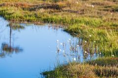 Cottongrass at the bog pond Royalty Free Stock Photos