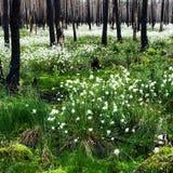 Cottongrass comum Foto de Stock Royalty Free