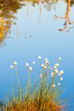Cottongrass Royalty Free Stock Images