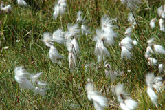 Cottongrass stock images