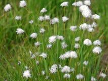 cottongrass de la HareÂ's-cola Fotografía de archivo libre de regalías