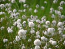 cottongrass de la HareÂ's-cola Foto de archivo libre de regalías