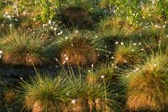 Cottongrass dorośnięcie w naturalnym bagna siedlisku Traw kępy w weltalnds Zdjęcia Stock