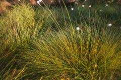 Cottongrass dorośnięcie w naturalnym bagna siedlisku Traw kępy w weltalnds Obrazy Royalty Free