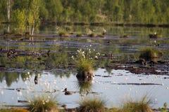 Cottongrass dorośnięcie w naturalnym bagna siedlisku Traw kępy w weltalnds Obraz Stock