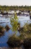 Cottongrass dorośnięcie w naturalnym bagna siedlisku Traw kępy w weltalnds Fotografia Royalty Free