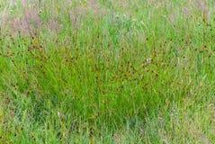 Cottongrass Eriophorum Vaginatum grön bomull för hed arkivbilder