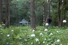 Cottongrass, Eriophorum-vaginatum, in voorgrond Uit de nadruk midden oude volwassen mens die met rugzak naar houten wandelen stock foto's