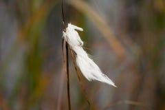 Cottongrass Royalty Free Stock Photos