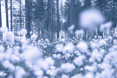 Cottongrass in forest Stock Photography