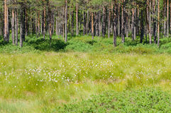 Cottongrass meadow and pine forest Royalty Free Stock Photography