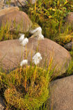Cottongrass is a plant of Taimyr. Royalty Free Stock Photography