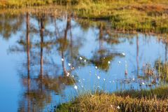 Cottongrass at the pond Stock Image