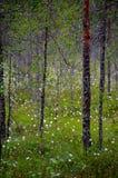 Cottongrass-Wald Stockfotografie