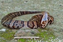 Cottonmouth蛇(蝮蛇属piscivorus) 免版税图库摄影