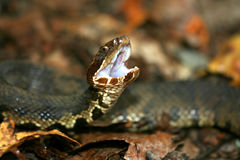 Cottonmouth Foto de Stock Royalty Free