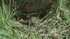 Cottonmouth angeschmiegt an der Basis des Baums stock video