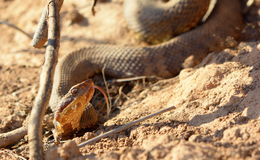 Cottonmouth Stock Photography