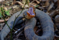 Cottonmouth display Royalty Free Stock Photo