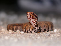 Cottonmouth novo Fotos de Stock Royalty Free