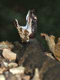 Cottonmouth (piscivorus d'Agkistrodon) Images stock