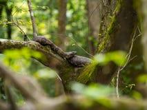 Cottonmouth que coloca nos ramos da árvore imagens de stock royalty free