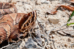 Cottonmouth Snake (Agkistrodon piscivorus) Royalty Free Stock Photo