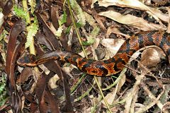 Cottonmouth Snake (Agkistrodon piscivorus) Royalty Free Stock Photography