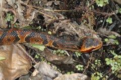 Cottonmouth Snake (Agkistrodon piscivorus) Stock Photos