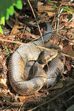Cottonmouth Snake in the Swamp Stock Photos