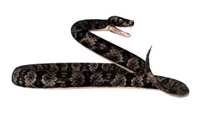 Cottonmouth Snake on White Stock Photography