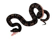 Cottonmouth Snake on White Stock Image