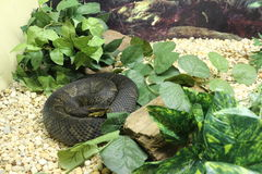 Cottonmouth. A venomous snake from north america Stock Images