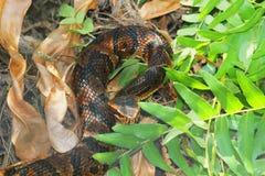 Cottonmouth Wąż (Agkistrodon piscivorus) Zdjęcie Royalty Free