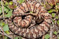 Cottonmouth Wąż (Agkistrodon piscivorus) Fotografia Stock