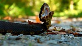 Cottonmouth węża Shawnee las państwowy zdjęcie wideo