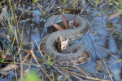 Cottonmouth water moccasin Stock Image
