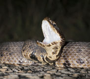 Cottonmouth Royalty Free Stock Photo