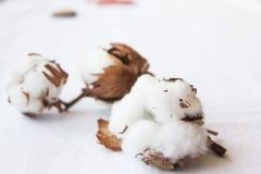 Cottonon en el fondo blanco Imagen de archivo libre de regalías