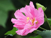 Cottonrose Hibiscus. The beauty of the cotton rose is a kind of traditional Chinese medicine royalty free stock images