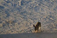 Cottontail ερήμων κουνέλι Στοκ Φωτογραφίες
