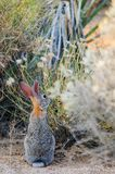 Cottontail ερήμων κουνέλι Στοκ φωτογραφίες με δικαίωμα ελεύθερης χρήσης