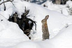 Cottontail κουνέλι λαγουδάκι που στέκεται στο χιόνι, νότια άγρια φύση της Γιούτα υπαίθρια στοκ φωτογραφία με δικαίωμα ελεύθερης χρήσης
