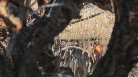 Cottontail κουνέλι που πλαισιώνεται από τους κλάδους ενός κάκτου cholla απόθεμα βίντεο