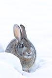 Cottontail κουνέλι στο βαθύ χιόνι Στοκ Εικόνες